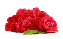 Bunch of red garden roses (flower head) Royalty Free Stock Images