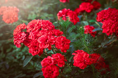 A bunch of red garden roses. In sunset stock photos