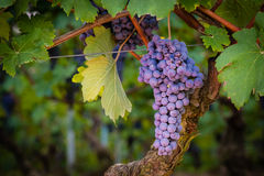 A bunch of red grape before the harvest Royalty Free Stock Photo