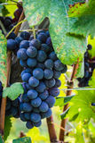 A bunch of red grape before the harvest Stock Image