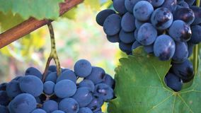 Bunch of red grapes at the autumn garden stock footage