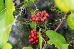 Bunch of red small grapes growing royalty free stock images