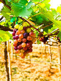 Bunch of red grapes  with green leaves in Wine yard in Nakorn Ra Stock Photo