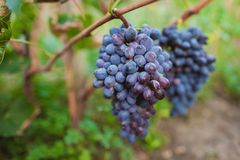 Bunch of red grapes. Hanging on a branch Royalty Free Stock Photo