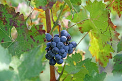 Bunch of red grapes in the middle of the grapevine leaves Royalty Free Stock Photography