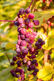 Bunch of red grapes in the setting sun. Royalty Free Stock Images