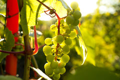 Bunch of red grapes in the setting sun. Stock Images