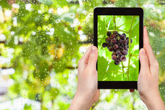 Bunch of red grapes on tablet pc Stock Images