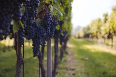 Vineyard before harvest in a sunny day royalty free stock photos