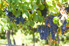 A bunch of red grapes on the vine. In a vineyard Stock Images
