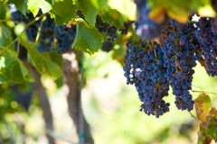 A bunch of red grapes on the vine. In a vineyard Royalty Free Stock Photos