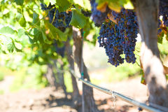 A bunch of red grapes on the vine. In a vineyard Royalty Free Stock Photography