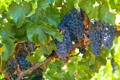 A bunch of red grapes on the vine Royalty Free Stock Photography