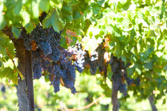 A bunch of red grapes on the vine. In a vineyard Royalty Free Stock Image