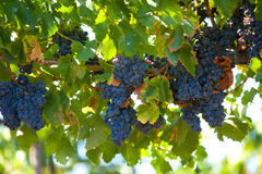 A bunch of red grapes on the vine. In a vineyard Royalty Free Stock Photo