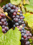 Bunch of red grapes on the vine Royalty Free Stock Photos