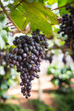 bunch of red grapes on the vine with green leaves Royalty Free Stock Image