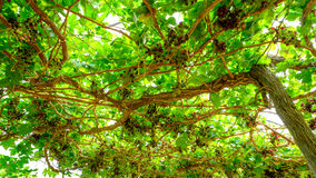 Bunch of red grapes on the vine with green leaves.  Royalty Free Stock Images