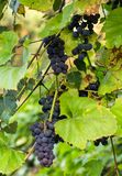 Bunch of red grapes on the vine with green leaves.  Stock Photos
