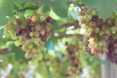 Bunch of red grapes on the vine with green leaves Stock Photo