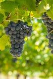 A bunch of red grapes. A bunch of red grapes on a vine in Moncalvo in Italy Stock Photos