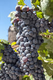 Bunch of red grapes on vines. Ripe red grape in a wineyard, before harvest along the Stellenbosch wine route Royalty Free Stock Images