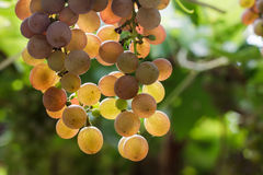 Bunch of red grapes in the vineyard. Stock Photo