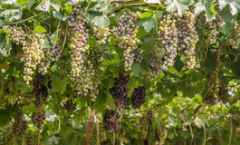 Bunch of red grapes in the vineyard. Royalty Free Stock Photography