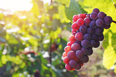 Bunch of red grapes royalty free stock images