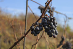 Bunch of red grapes. Red wine hanging in the vineyard in the background of blue sky Royalty Free Stock Image
