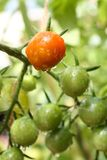 Bunch of red and green cherry tomatoes garden after the rain Royalty Free Stock Photos