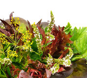 Bunch of  red and green curly lettuce, water-cress, spinach, dil Royalty Free Stock Images