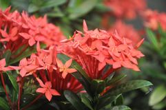 Ixora flower stock images
