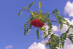 A bunch red mountain ash on a background of blue sky Royalty Free Stock Images