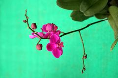 Bunch of Red Orchid Royalty Free Stock Image