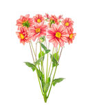 Bunch of red pale dahlia, isolated Stock Images