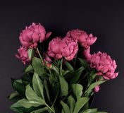 Bunch of red peonies with green leaves on a black background. Top view royalty free stock photography