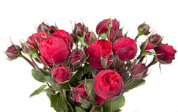 Bunch red Peony- roses Stock Images