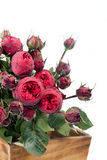 Bunch red Peony- roses Royalty Free Stock Image