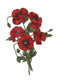 Bunch of red poppies. A bunch of poppies with buds Stock Photography