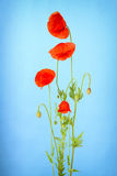 Bunch of red poppy flowers Royalty Free Stock Photo