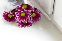 Bunch of red purple chrysanthemums in a plastic transparent clear package, lying on a white windowsill royalty free stock photography
