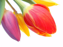 Bunch of red, purple and yellow tulips. On white background stock photo