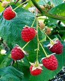 Bunch of red raspberry berries. stock photo