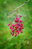 A bunch of red and ripe berries of barberry. Macro. Royalty Free Stock Images