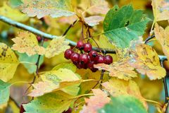 A bunch of red, ripe berries on a tree branch or Bush in autumn. Around a lot of autumn leaves of different colors. The leaves are mottled with spots and dots stock photo
