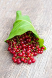 Bunch of red ripe currant berry with pigtails on the green burdock leaves Royalty Free Stock Images