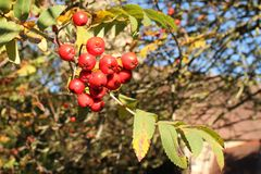 Bunch of red ripe rowan berries Royalty Free Stock Images
