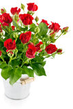 Bunch red rose in bucket Stock Images