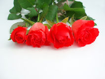 Bunch of red roses. Of white background Royalty Free Stock Photos